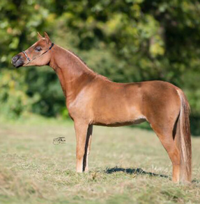 miniature broodmare 2015 for sale