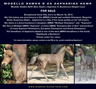MODELLO HAWKS B AA AAPHARINA HAWK, miniature filly