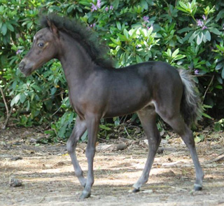 miniature colt 2019 for sale