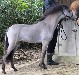 miniature colt 2017 for sale