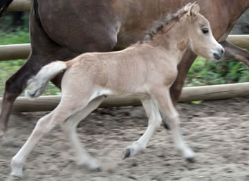 Modello SAE Phantom Aurore Boréal, miniature filly