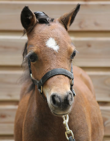 Modello Son Phantom Fahrenheit 451, miniature colt