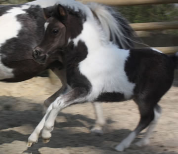 Modello BRT Phantom Princess Noor , miniature filly