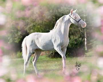 Modello Phantom A Whiter Shade of Pale, miniature colt