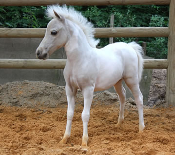 Modello Blue Phantom True Romance, miniature filly