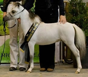 miniature stallion Looking for Phantom