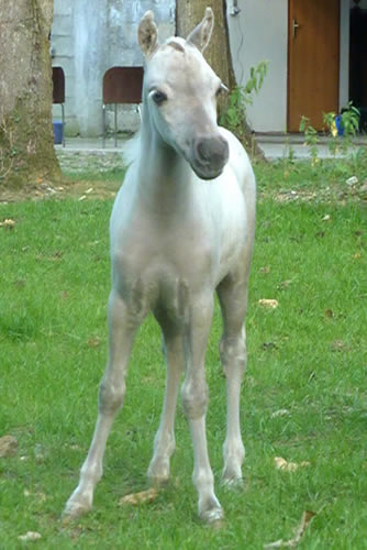 My Royal limoges, miniature horse