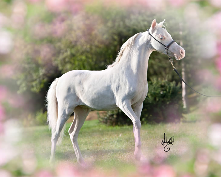 A Whiter Shade Of Pale, pouliche miniature