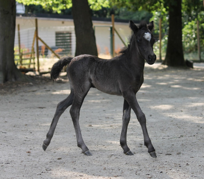 AMHA miniature filly for sale